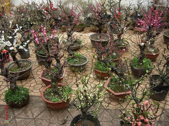 木桃海棠盆景的习性栽培土壤和换盆的时间