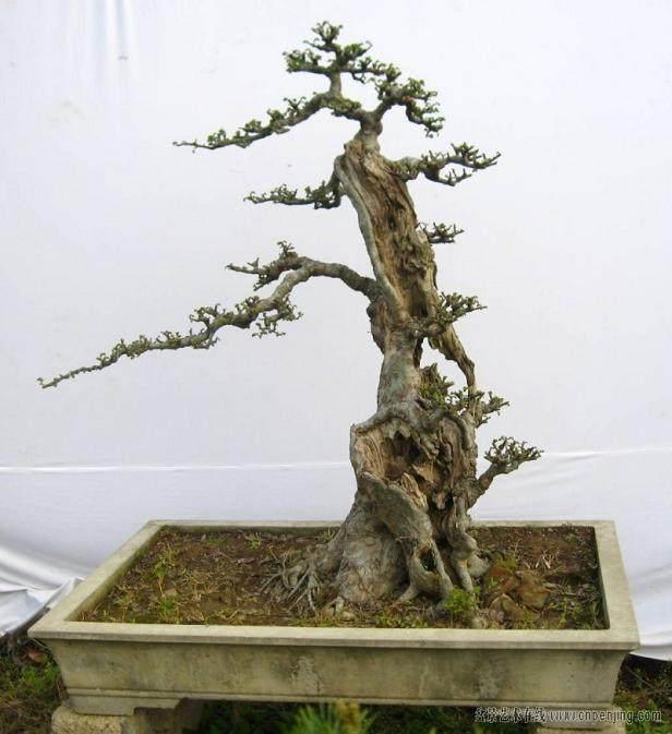 雀梅盆景出现焦叶 可以用洗根救活 图片