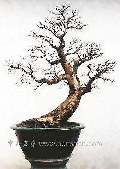 雀梅盆景的根能不能逼发芽出芽?