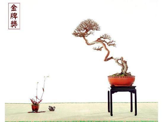 雀梅盆景发的芽无力 嫩芽枯萎了