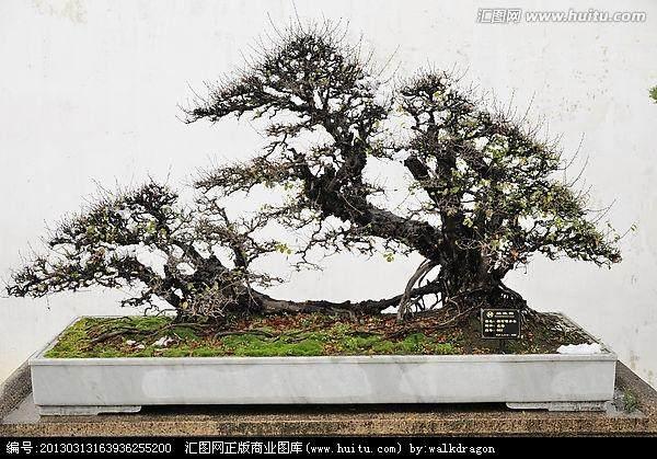 《风华正茂》雀梅盆景