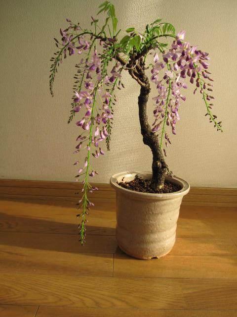 紫藤盆景怎么上盆养护管理的方法