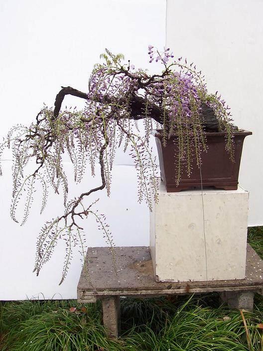 紫藤盆景春季发芽后怎么管理 图片
