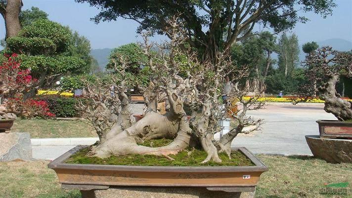图解 朴树盆景造型设计的过程