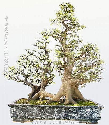 朴树盆景怎么发芽养护管理 图片