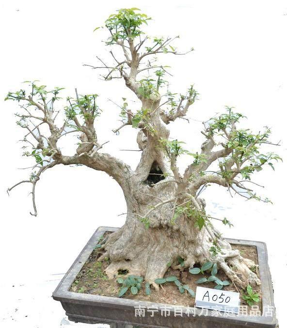 朴树老桩盆景怎样制作的方法 图片