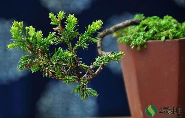 微型黄杨盆景翻盆在春季发芽前进行最好