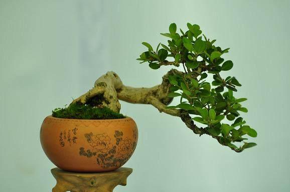 翻盆在春季黄杨盆景发芽前进行最好