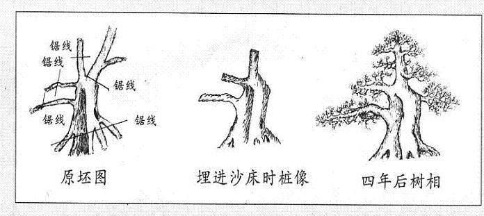 盆景枝干怎么蟠扎的技巧(二)