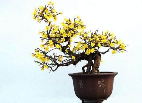 盆景 迎春