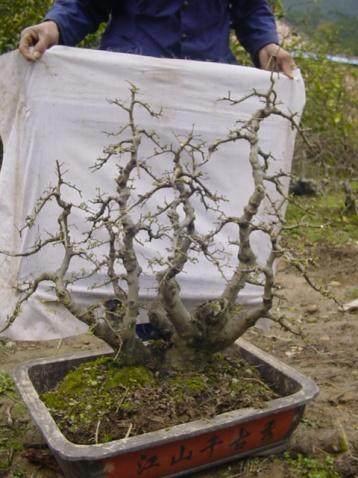 下山桩采挖后怎样生根养护的方法