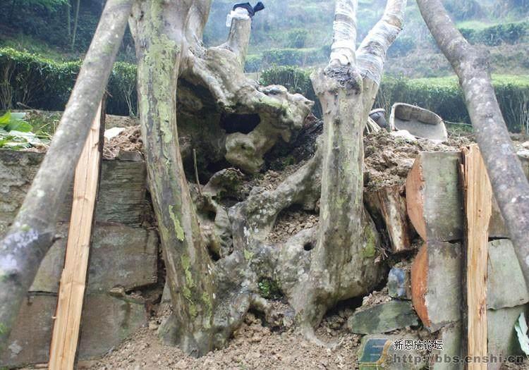 下山桩怎样挖掘与生根养护
