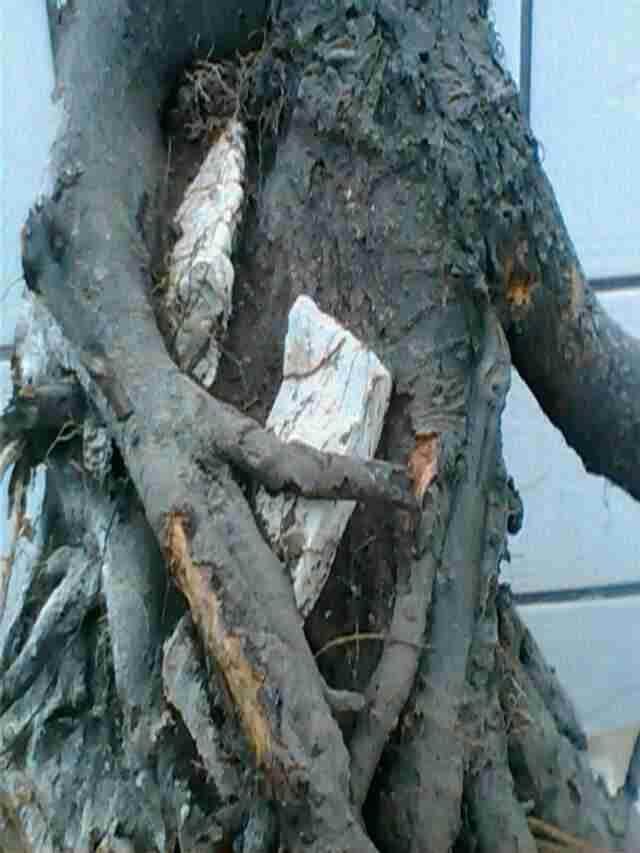 盆景下山桩怎样用生根粉养护的方法