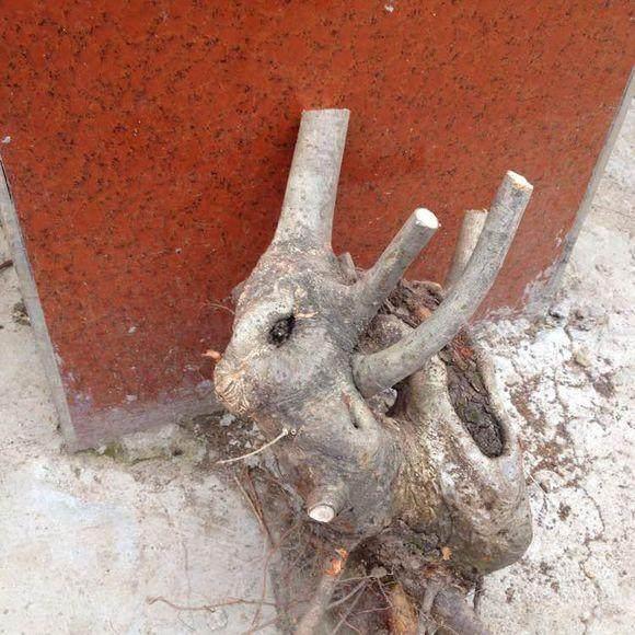 下山桩生桩用沙栽培生根发芽的利弊
