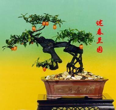 金弹子盆景换盆后怎么栽培养护的方法