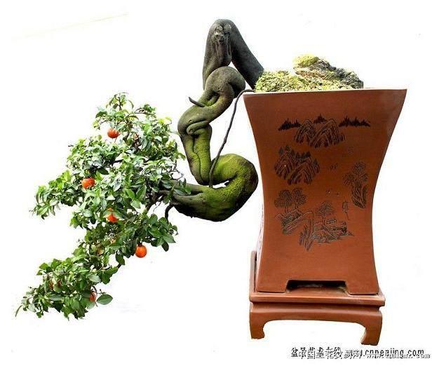 怎样才能促成金弹子盆景的枝条开花结果
