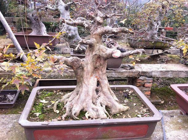有什么好的树种可以嫁接到枫香桩上去?
