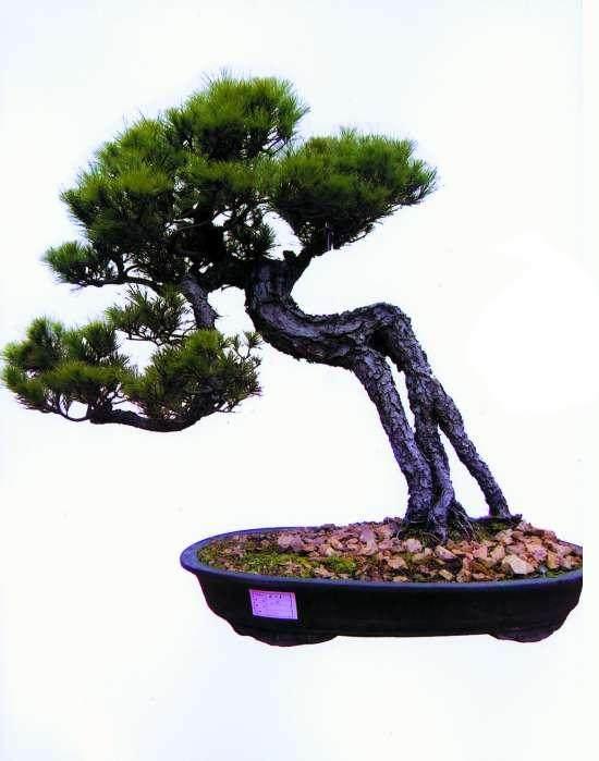 黄山松盆景移栽后怎样生根制作的方法