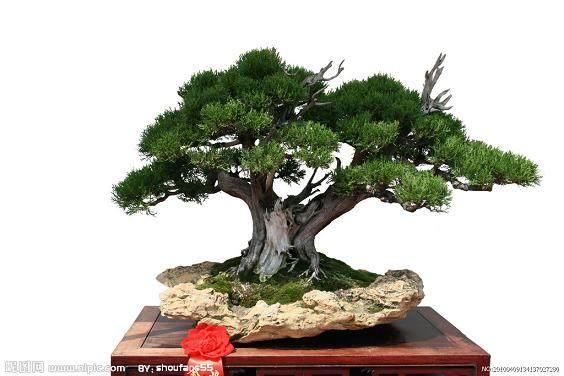 树桩盆景根培育的两种含义