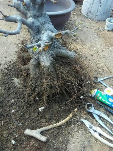 盆栽树桩盆景的换土和换盆