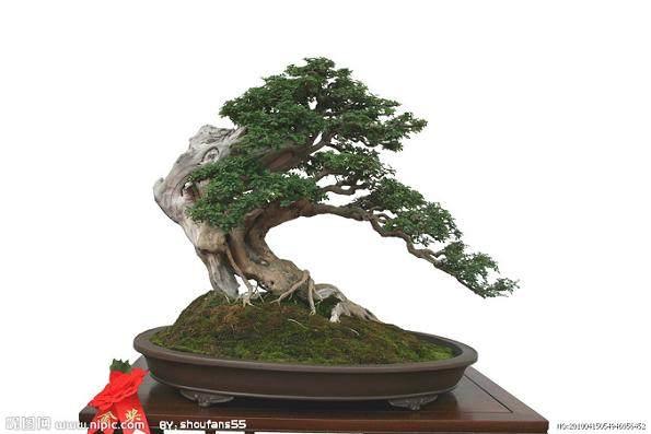 树桩盆景的成景方法有如下形式