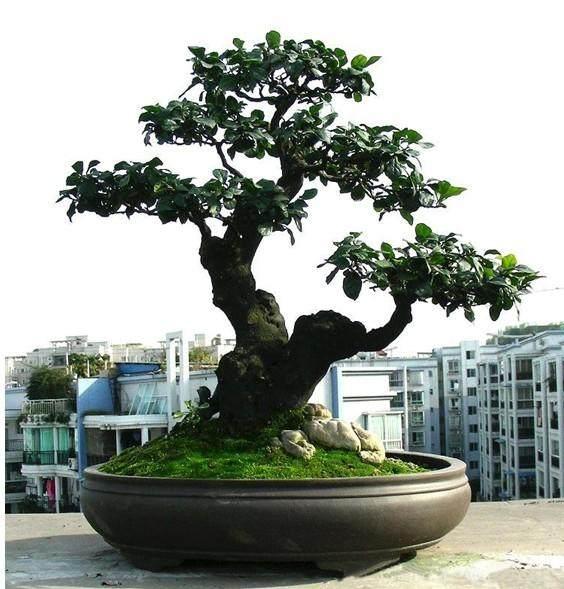 阳台上培育树桩盆景生根的经验(下)