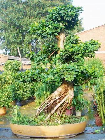 榕树盆景的摘叶和摘叶的方法