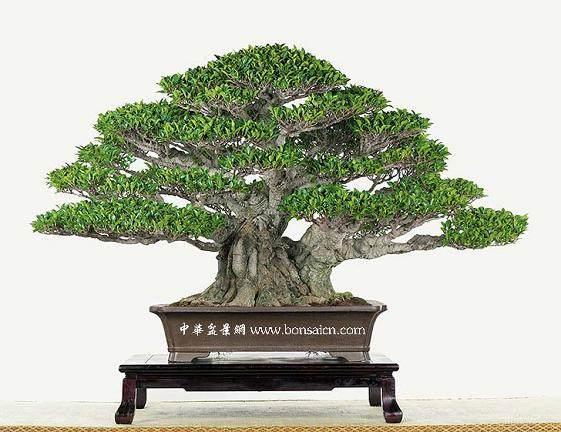 小叶榕树老桩盆景怎样嫁接制作