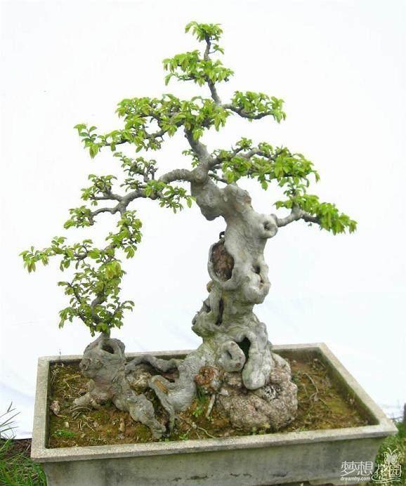 榕树盆景怎么靠接增粗的方法