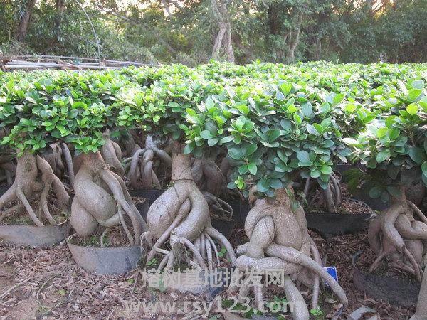 榕树盆景怎么造型养护的方法 图片