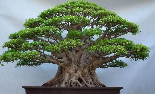 榕树盆景的修剪制作
