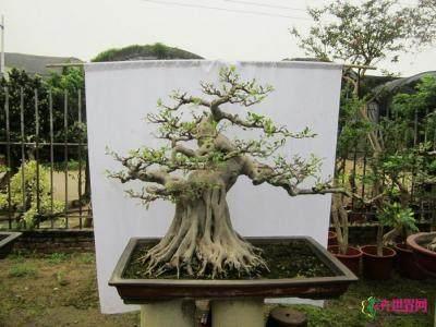 春季榕树盆景扦插繁殖的方法是什么