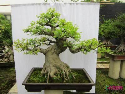 怎么用干枝调换制作榕树盆景的方法