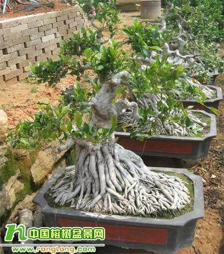 怎么培养榕树盆景的气根与板根