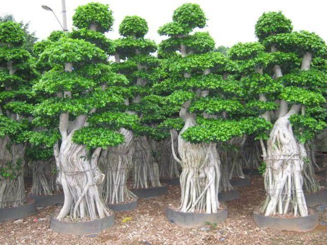榕树盆景怎么制作的3个注意事项