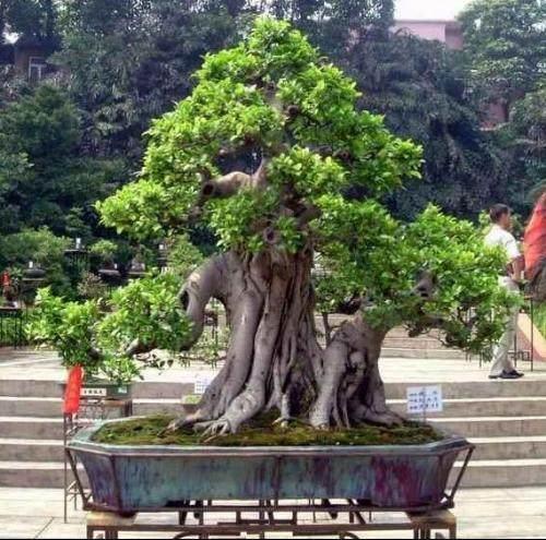 直干式的榕树盆景怎么制作造型?
