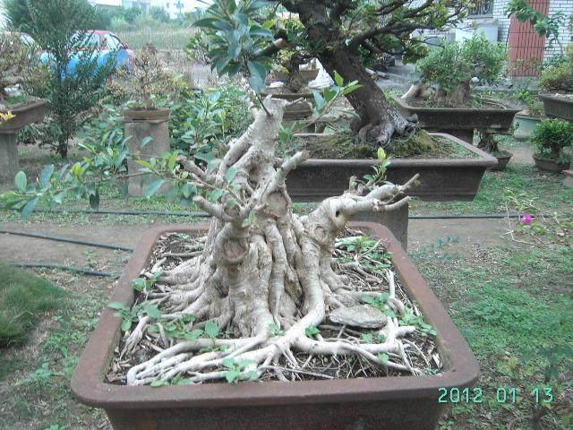 我家养的小榕树盆景死了 有什么抢救措施
