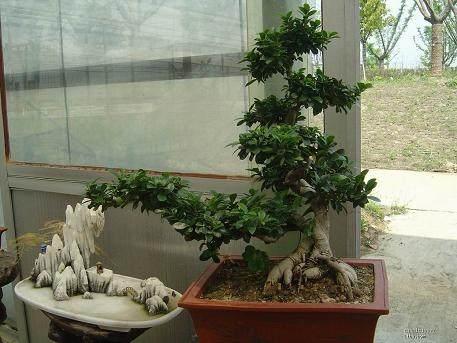 给小榕树盆景施肥能养出大盆景吗?