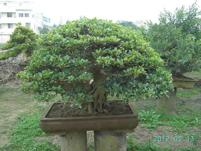 小榕树盆景怎么移栽养护的方法