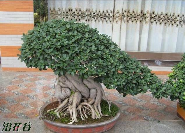 小的榕树盆景如何换土换盆?