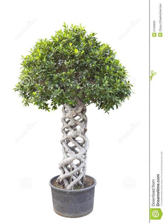 榕树型盆景气根怎么嫁接的2个方法