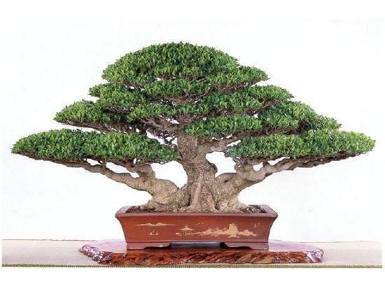 怎么嫁接榕树盆景的方法