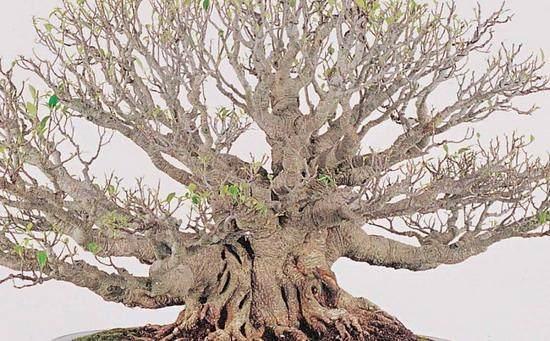 榕树盆景怎样生根制作的3个方法