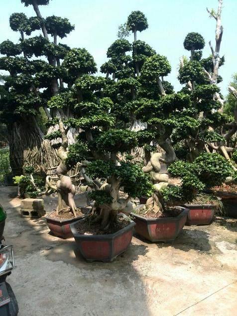 榕树盆景怎样生根培育的方法 图片
