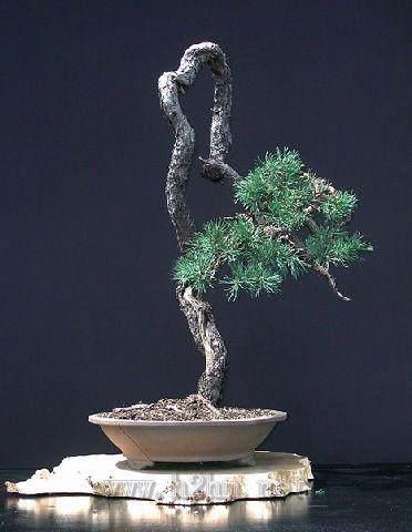 文人树盆景形成于日本的明治时期
