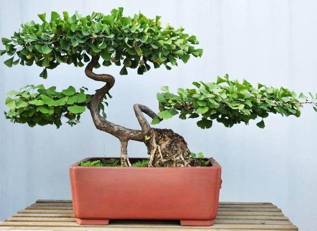 杂木树桩地栽盆景后的定枝和造型设计