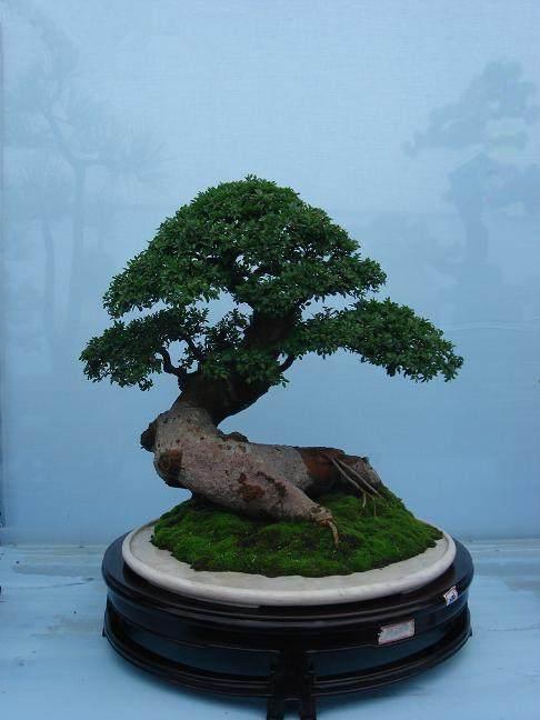盆景 杂木