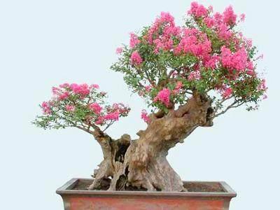 盆景栽培首先考虑成活回青 生根发芽