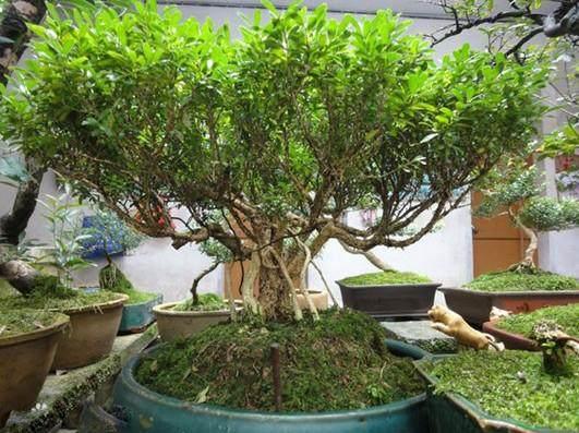 江西盆景怎么摘叶造型的方法 图片