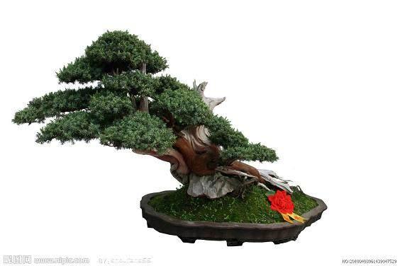瓜子黄杨盆景怎么嫁接对生根发芽最好